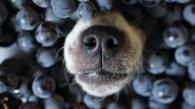 Hund mit Weintrauben 2